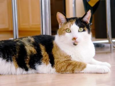 Трехцветны окрас кота к